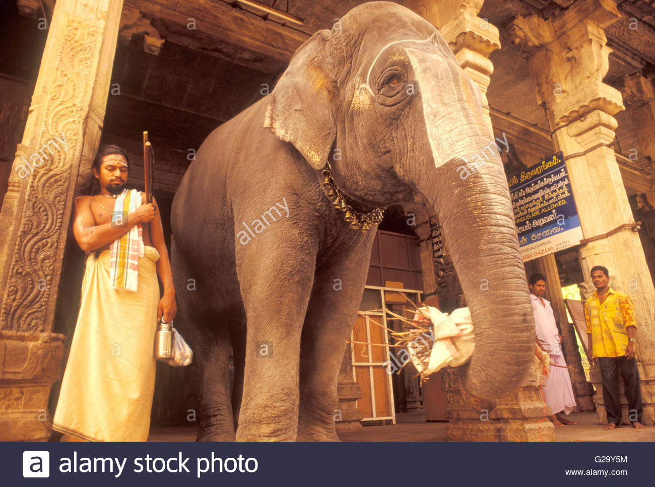 temple elephant: tamil nadu, India. female asian elephants have no tusks unlike their african counterparts